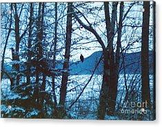 Bald Eagle Haines Alaska Acrylic Print by Judyann Matthews