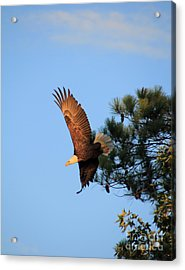 Bald Eagle Liftoff Acrylic Print