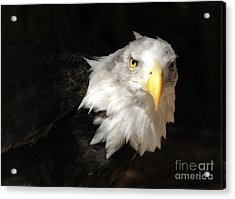 Bald Eagle Acrylic Print by Marc Bittan