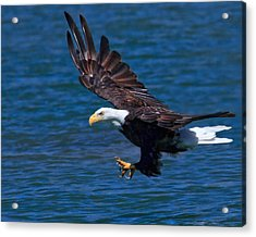 Bald Eagle On The Hunt Acrylic Print by Beth Sargent
