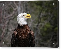 Bald Eagle Acrylic Print by Sandra Anderson