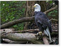 Bald Eagle Acrylic Print by Sean Griffin