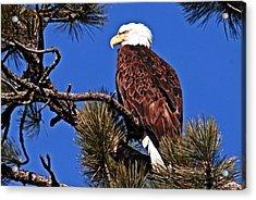 Bald Eagle Sits Acrylic Print by Don Mann
