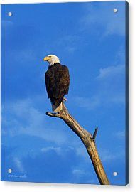 Bald Eagle Sitting High Acrylic Print