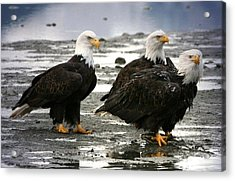 Bald Eagle Trio Acrylic Print by Carrie OBrien Sibley
