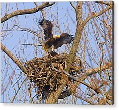 Bald Eagles Nest Acrylic Print by J Larry Walker