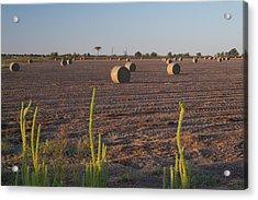 Bales In Peanut Field 12 Acrylic Print by Douglas Barnett