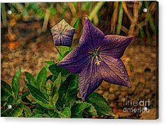 Balloon Flower - Antiqued Acrylic Print by Michael Garyet