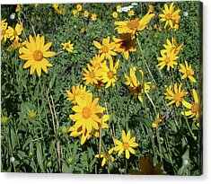 Balsam Root Bouquet Acrylic Print