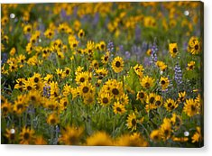 Balsamroot And Lupine Acrylic Print