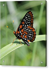 Baltimore Checkerspot Butterfly With Wings Folded Acrylic Print