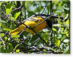 Baltimore Oriole Acrylic Print by Joe Faherty