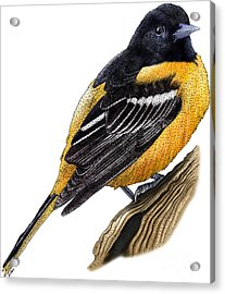 Baltimore Oriole Acrylic Print by Roger Hall and Photo Researchers