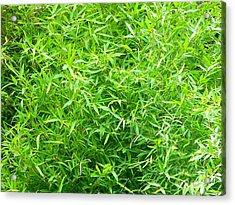 Bambou - Ile De La Reunion Acrylic Print by Francoise Leandre