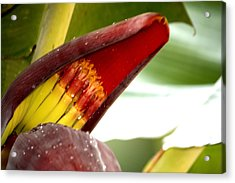 Acrylic Print featuring the photograph Banana Infants by Karen Nicholson
