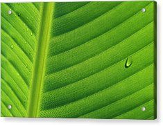 Banana Musa Sp Close Up Of Leaf Acrylic Print by Cyril Ruoso