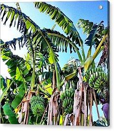 Banana's Growing In Eastvale! Acrylic Print