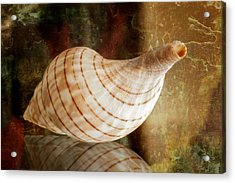 Banded Tulip Seashell Acrylic Print by Bonnie Barry