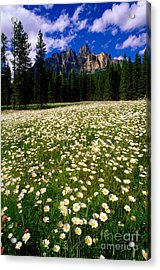 Banff - Castle Mountain Daisies Acrylic Print by Terry Elniski