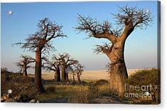 Baobabs Of Makgadikgadi Acrylic Print