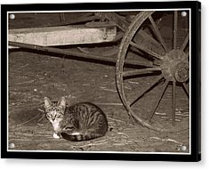 Barn Cat II Acrylic Print