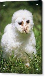 Barn Owl Chick Acrylic Print by David Aubrey