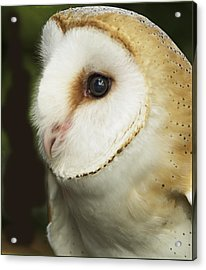 Barn Owl Close-up Acrylic Print