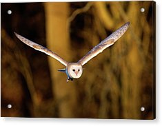 Barn Owl In Flight Acrylic Print by MarkBridger