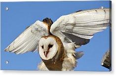 Barn Owl In Flight Acrylic Print by Paulette Thomas