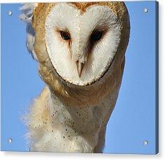 Barn Owl Up Close Acrylic Print by Paulette Thomas