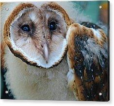 Barn Owlet Acrylic Print
