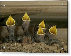 Barn Swallow Hirundo Rustica Chicks Acrylic Print by Cyril Ruoso