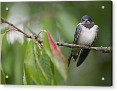 Barn Swallow Hirundo Rustica Fledgling Acrylic Print by Cyril Ruoso