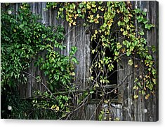 Barn Window Vine Acrylic Print