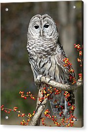 Barred Owl And Bittersweet Acrylic Print by Cindy Lindow