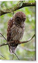 Barred Owl Acrylic Print by Joe Elliott