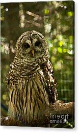 Barred Owl Acrylic Print by Rachel Duchesne