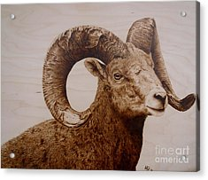 Battle Scarred Big Horn Ram Acrylic Print