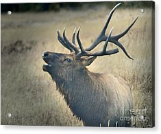 Acrylic Print featuring the photograph Battle Tested Elk Warrior by Nava Thompson