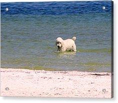 Beach Poodle Acrylic Print