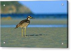 Beach Stone-curlew Acrylic Print by Bruce J Robinson