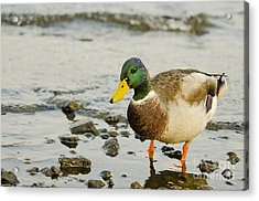 Acrylic Print featuring the photograph Beach Strolling Mallard by MaryJane Armstrong