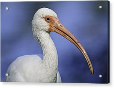 Beak Envy...i Know You're Feeling It Acrylic Print