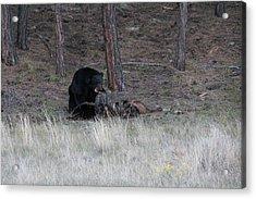 Bear Eating An Elk Acrylic Print