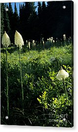 Bear-grass II Acrylic Print by Sharon Elliott