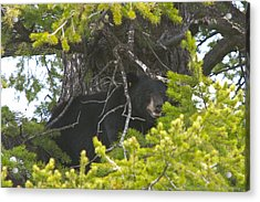 Bear In A Tree Acrylic Print by Charles Warren