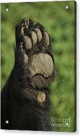 Bear Paw Acrylic Print by Jenny May