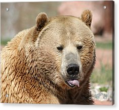Acrylic Print featuring the photograph Bear Rasberry by Living Color Photography Lorraine Lynch
