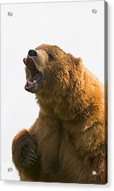 Bear With Tongue Out Of Mouth Acrylic Print by Carson Ganci