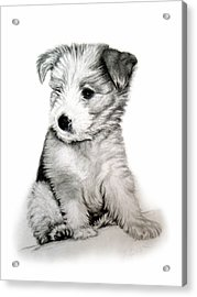 Bearded Collie Pup Acrylic Print by Michelle Harrington